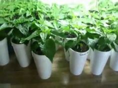 If you are one of those people, who does not enjoy very hot peppers, also known as TRINIDAD MORUGA SCORPION then you may want to skip this one. Stuffed Jalapeno Peppers, Stuffed Green Peppers, Ghost Pepper Seeds, Chilli Plant, Growing Peppers, Ghost Peppers, Pepper Plants, Seed Starting, Cool Plants