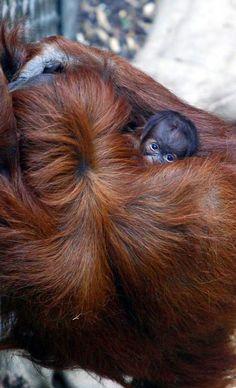 Chester Zoo's Sumatran orangutan Emma and baby Tripa