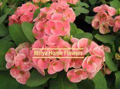 Euphorbia  Peach Melba Peach Melba, Home Flowers, Rose, Plants, Pink, Plant, Roses, Planets