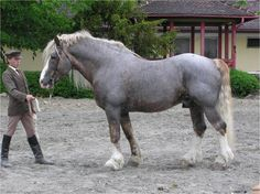 Czechomoravian Belgian Draft Horse