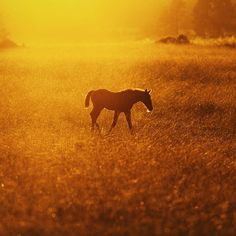 Foal at golden hour. . #MadeBySweden  by wisslaren