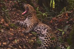 Javan leopard (Panthera pardus melas). Taken by a research project in Gunung Halimun-Salak National Park, the photos show the magnificent animal relaxing in dense primary rainforest. Scientists believe that fewer than 250 mature Javan leopard survive, and the population may be down to 100…