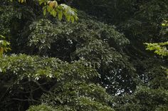 The rainforests here are incredibly diverse and determining which of the thousands of species might function best in an alley cropping system is no simple task, making the expertise and assistance of Kew Garden's hugely valuable.