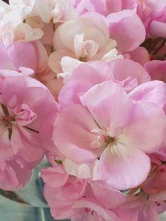 På tide å ta inn pelargonia for sesongen og la dem forberede seg på ny sommer. Dream Garden, Planters, Rose, Flowers, Backgrounds, Pink, Plant, Window Boxes, Roses
