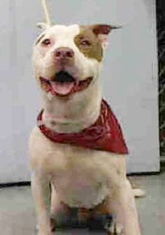 SAFE 8-14-2015 --- Manhattan Center BABY BULLY – A1045610  MALE, WHITE / BROWN, PIT BULL MIX, 1 yr, 4 mos STRAY – STRAY WAIT, NO HOLD Reason STRAY Intake condition EXAM REQ Intake Date 07/27/2015 http://nycdogs.urgentpodr.org/baby-bully-a1045610/