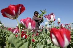 Afghan opium production is thriving