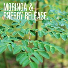 Aduna Moringa is a rich source of iron NRV) calcium NRV) and magnesium NRV) all of which support energy-yielding metabolism A green smoothie with moringa in the morning will keep you energised all day! adunacom Click the image for more info. Moringa Benefits, Health Benefits, Most Nutrient Dense Foods, Miracle Tree, Moringa Powder, Healthy Smoothies, Green Smoothies, Healthy Eating Habits, Moringa Oleifera