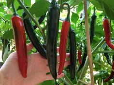 Grow your own chillies – small green things Grow Your Own Food, Stuffed Peppers, Vegetables, Hot, Green, Gardening, Tips, Advice, Stuffed Pepper