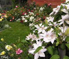 Clematis Miss Bateman and roses Clematis Trellis, Bloom Where You Are Planted, Love Flowers, Leaves, Landscape, Plants, Roses, Gardens, Beautiful