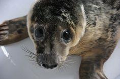 Adopt a Seal – Seal Rescue Ireland Seal Seal, Seal Pup, Kangaroo, Ireland, Adoption, Animals, Baby Bjorn, Foster Care Adoption, Animales