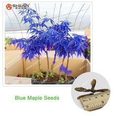 Rare Azul Semillas De Arce Árbol de Arce Semillas Bonsai Plantas En Maceta de Jardín Semillas De Arce Japonés 10 Unids/lote