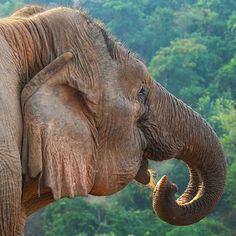 Meet Thong Dee, a 56-year old elephant on our elephant rehabilitation project in Thailand! #gvi #conservation #wildlife