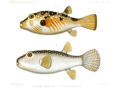 Animal - Fish - Beige spotted