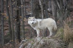 Canadian Arctic Wolf by Rudy Pohl on Flickr | This photo was taken at Parc Omega Nature Preserve, Montebello, Quebec, Canada.