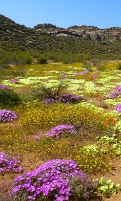 Travel in South Africa, visiting the Namaqua National Park / Voyage en Afrique… Desert Flowers, Desert Plants, Flowers Nature, Wild Flowers, Landscape Photography, Nature Photography, Champs, California Garden, Elements Of Nature