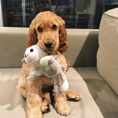Cute Baby Dogs, Cute Little Puppies, Cute Dogs And Puppies, Doggies, Cocker Spaniel Anglais, English Cocker Spaniel Puppies, Super Cute Animals, Cute Baby Animals, Animals And Pets