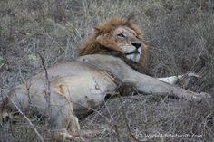 #Landscapes  #Animals #KrugerNationalPark #Kruger #KrugerNP #SouthAfrica #Safari #Travel #Lion #Animallove #VisitSouthAfrica