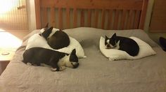 The girls have taught Gladius how to take over the bed Boston Style!