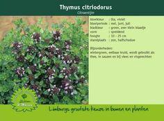 Citroentijm - Thymus citriodorus