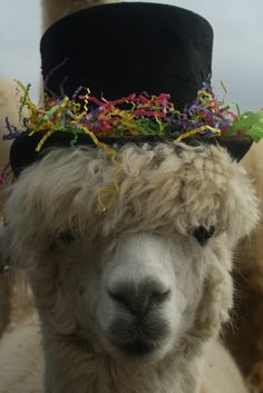 Every farm needs a PR manager. Doe is the girl at Humming Star Alpaca. :-)