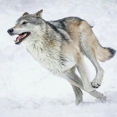 ARHWOO Attention Wolf Fanatics Browse our online gift store Jewelry stuff clothing accessories homeware. Worldwide delivery of wolf items. Wolf Photos, Wolf Pictures, Wolf Spirit, Spirit Animal, Beautiful Wolves, Animals Beautiful, Tier Wolf, Animals And Pets, Cute Animals