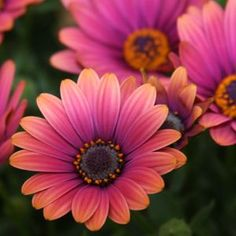 Osteospermum Zion Copper Amethyst.  A great annual for cool weather and full sun.  Pair with blue lobelia or pansies
