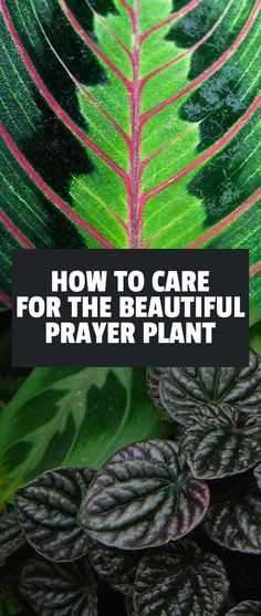 Prayer plants or maranta plants are finicky houseplants that add a lot of beauty to your home. Learn how to properly care for this delicate plant in our guide.
