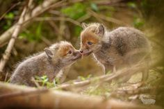 Two affectionate young fox cubs by Neil Burton on 500px