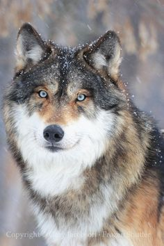 Wolf with beautiful eyes in snowfall Hund - Hund welpen - Rottweiler hund - Hund bilder Wolf with be Wolf Photos, Wolf Pictures, Animal Pictures, Nature Animals, Animals And Pets, Cute Animals, Wild Animals, Farm Animals, Wolf Spirit