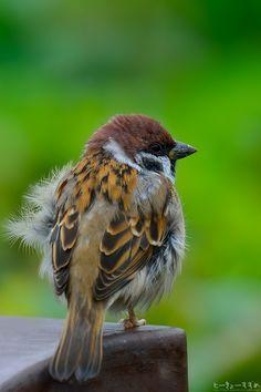 冷たい雨の水曜日…。ときおり吹く北風に、秋の深まりを感じますね〜。 #雀 #スズメ #鳥 #Birds #写真好きな人と繋がりたい #Nature #ファインダー越しの私の世界 #曇り時々雨 #北風 #晩秋 #雨 人気ブログランキングへ