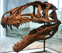 Crâne d'un Acrocanthosaurus, Musée de Science naturelle de la Caroline du Nord. Dinosauria, Saurischia, Theropoda, Carnosauria, Allosauroidea, Carcharodontosauridae. Auteur : Ryan Somma, 1980.