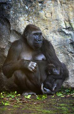 NOVIEMBRE 2016 La gorila Nalani y su bebé llamada VIRUNGA - cumple 3 meses en BIOPARC Valencia
