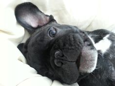 Good morning ♡ #frenchie, french bulldog. What a sweety baby face!