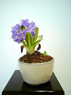 Primrose - Accent Plant for Bonsai Display
