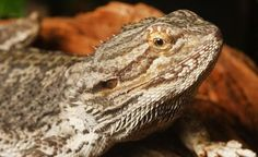 The Bearded Dragon Diet – 7 Top Foods Eastern Bearded Dragon, Bearded Dragon Diet, Best Diets, Animals, Zoos, Victoria, Animales, Animaux, Animal