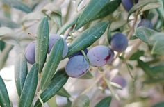 Olive trees at Queen Creek Olive Mill