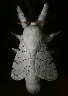 Fluffy White Moth Portrait | Flickr - by Mathew Taft