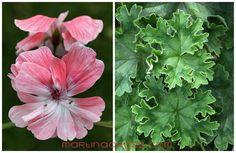 Pelargonie - Pelargonium - Pelargoner - Geranium Zonarctic Lara Enwoy