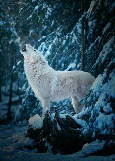 White Wolf Photo by ©Michael Schönberger Howling Wildlife Wolf Love, Arktischer Wolf, Lone Wolf, Wolf Howling, Wolf Pup, Wolf Photos, Wolf Pictures, Animal Pictures, Beautiful Creatures