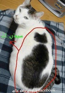 A cat with a black and white fur pattern that looks like a cat. www.superstarpetservices.com