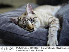 Kio/PicturePress/StudioX Chat, tranquille, portrait, repos