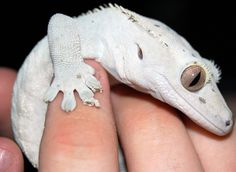 Tostada is one of many crested geckos. Description from deviantart.com. I searched for this on bing.com/images