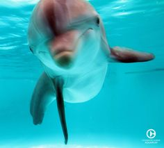 We believe in preserving our environment while inspiring the human spirit through leadership in the rescue, rehabilitation, and release of marine life. Ocean Photography, Animal Photography, Clearwater Marine Aquarium, Clearwater Florida, Dolphin Photos, Dolphin Tale, Cute Whales, Bottlenose Dolphin, Underwater Life