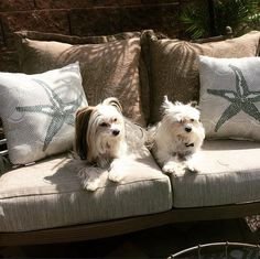 ZhuZhu and Avi sun bathing in the warm spring sunshine! | Chinese Crested long hair and powder puff