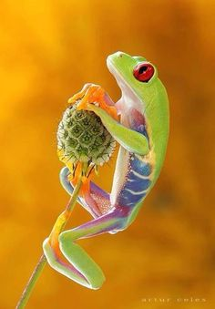 Cute Little Critter ~ Red-eyed tree frog by Artur Celes via Pixdaus Les Reptiles, Reptiles And Amphibians, Mammals, Beautiful Creatures, Animals Beautiful, Cute Animals, Colorful Animals, Small Animals, Beautiful Things