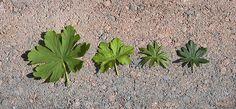 Kurjenpolvien lehdet vasemmalta: tuoksukurjenpolvi, peittokurjenpolvi, verikurjenpolvi, neidonkurjenpolvi.