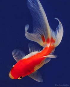 Fantail Goldfish, look at the fishy.