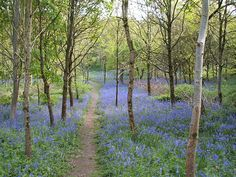 A beautiful walk among the bluebells. Herne Hill, Ilminster, Somerset.  #country #wood  #bluebells #traditional #Somerset