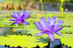 Lily pad pond. San Angelo, Texas San Angelo, Lily Pad, Koi, Lotus, Bugs, Texas, Gardens, Spaces, Water
