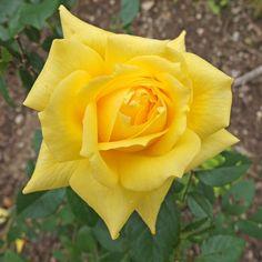 Yellow rose, Budock churchyard